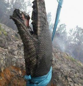 Miris! Ini Penampakan Raja Ular Kalimantan Mati Terpanggang di Kebakaran Hutan