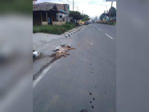 Teror Bangkai Babi Kian Meresahkan, Laporan Warga Lama Ditindaklanjuti