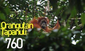Pembangunan Berkelanjutan Lindungi Orangutan Tapanuli dari Kepunahan