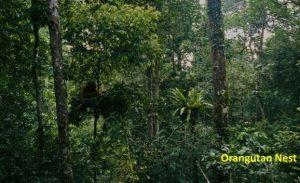 Orangutan Tapanuli Tinggal 760 Ekor: Butuh Penanganan Habitat di Luar Hutan Konservasi