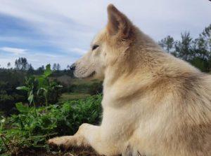 Anjing Jinak Menggemaskan Jadi Resepsionis dan Menemani Wisatawan Selama Berlibur di Sajjan Heritage Farm