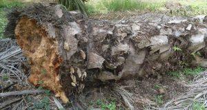 Cara Mencegah Jamur Ganoderma Menggunakan Teknologi CHIPS®