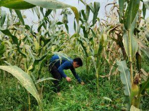 Dampak Bantuan Kementan bagi Petani Jagung di Sumut